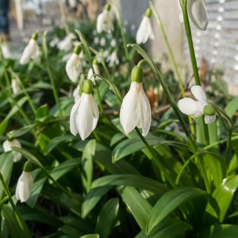 I love snowdrops. Today I spotted some in the neighbourhood.