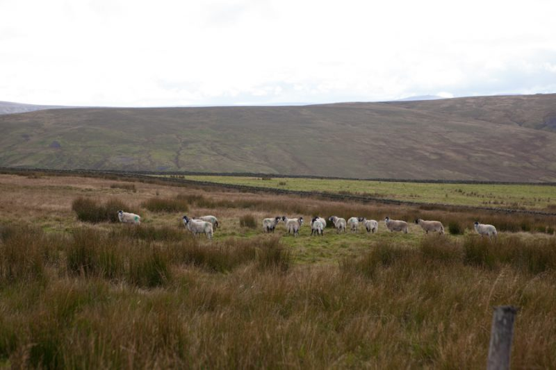 Swaledale sheep
