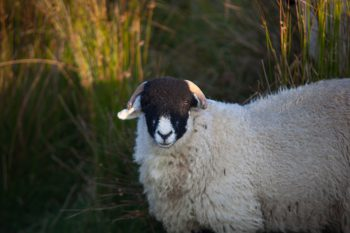A Swaledale sheep