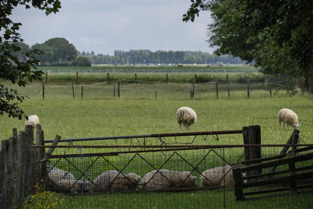 Sheep lying in a row