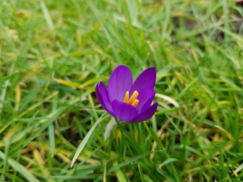 A close up of a blooming purple crocus